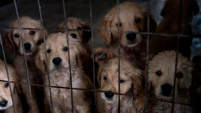 The Puppy MillPhenomenon